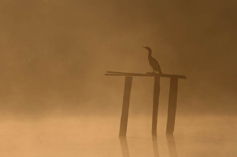 photo grand cormoran brume