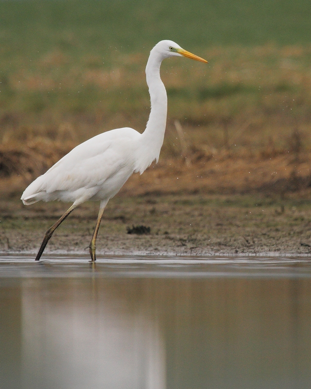photo grande aigrette