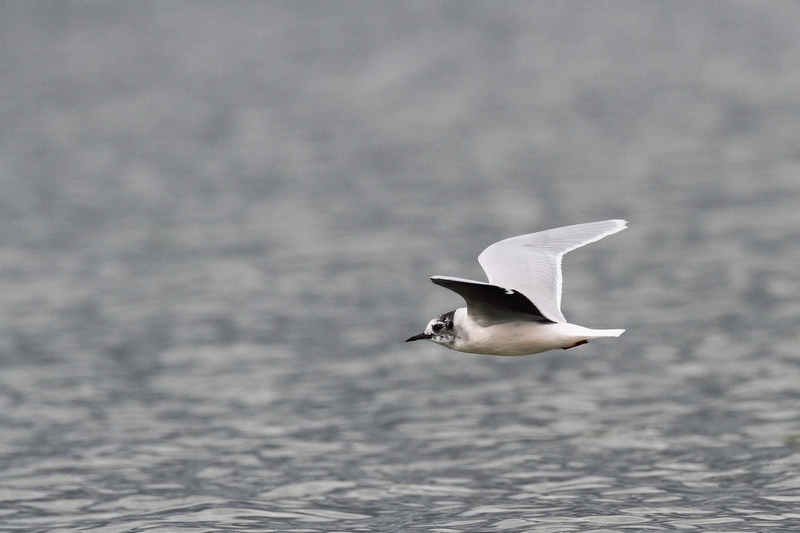 photo mouette pygmée