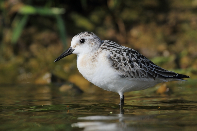 photo bécasseau sanderling