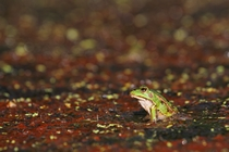 photo grenouille verte