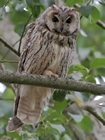 photo hibou moyen duc